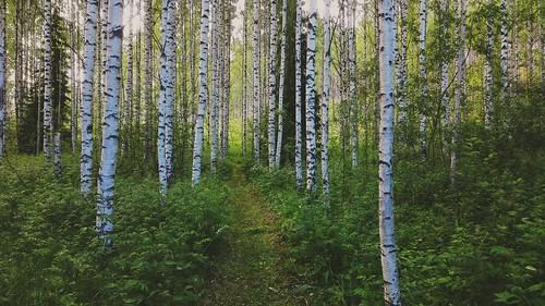 summer finland lieviskä birch plantation path