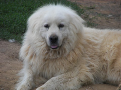 dog breed, animal, polish tatra sheepdog, dog, maremma sheepdog, slovak cuvac, carnivoran, great pyrenees,