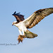 Osprey landing with nesting material by bananaman33428