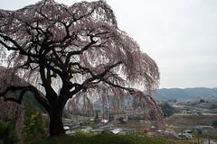 Sakura Okkazuma 乙ヶ妻のシダレザクラ (おっかずまのしだれざくら)
