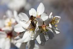 Prunus dulcis & Apis mellifera
