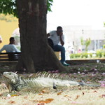 Mo, 20.04.15 - 13:43 - Iguana - mitten in Cartagena