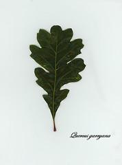 E20150506-0001—Quercus garryana