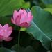一家三口 / Lotus by CCYTW (CY Chen)