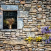 wisteria on stone, provence by jody9