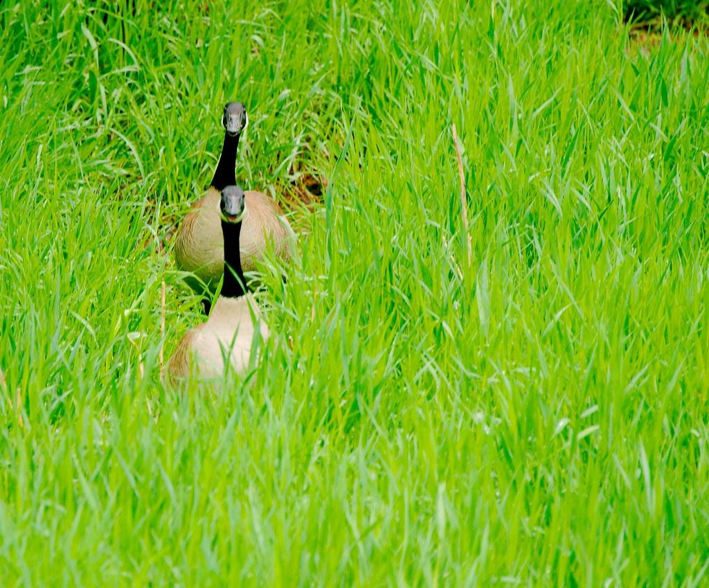 Canada Goose (Branta canadensis)_2