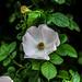 Flowering briar by Hasan Yuzeir