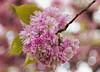 Blossom Cromwell Gardens 2016-05-02 (6D_2652)