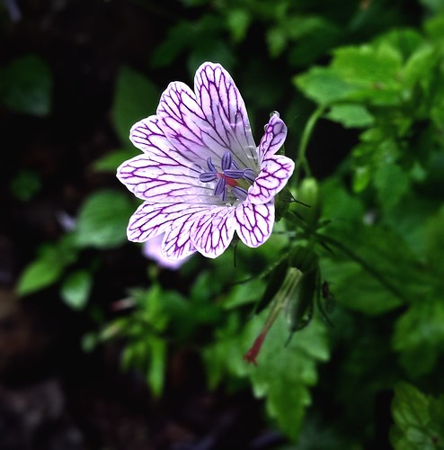 The Little One (Geranium x oxonianum)