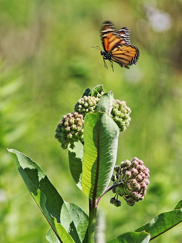 Monarch over Common Milkweed 20160627