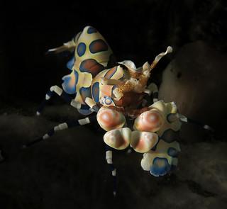 Harlequin Shrimp (Hymenocera picta / elegans)