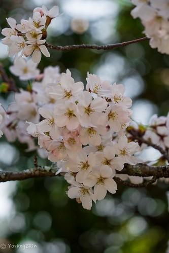 2015 Cherry blossom #2