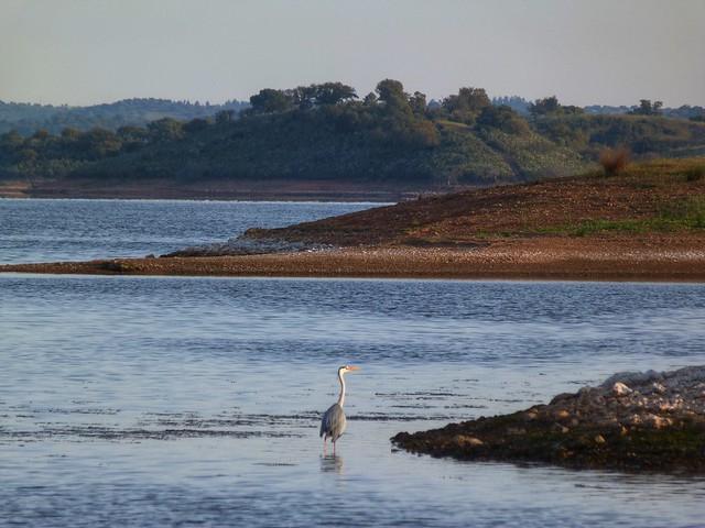 Garza real en el Lago Alqueva (Alentejo, Portugal)