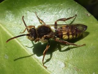 Nomad Bee - Nomada flava