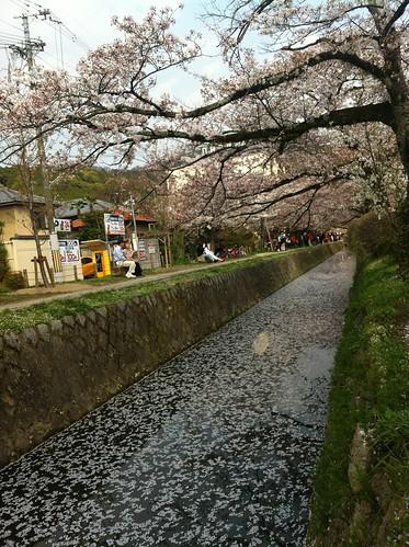 Río de pétalos de cerezo (iPhone4)