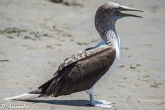 pelican(0.0), cormorant(0.0), animal(1.0), suliformes(1.0), wing(1.0), fauna(1.0), beak(1.0), bird(1.0), seabird(1.0), wildlife(1.0),