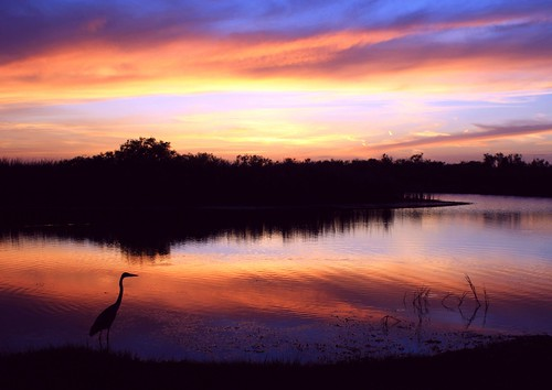 sunset florida southflorida unitedstates usa palmbeachcounty floridaeverglades loxahatchee national wildlife refuge sawgrass tallgass nature beauty natural wild inthewild river peaceful tranquility quiet blue inland skyscape cloudscape landscape riverscape artisticsunsetphotography calm smooth serene bluemist moody tranquil reflection riverofgrass everglades path canoetrail misty puffyclouds dreamy greatblueyou softblue still southfloridawetlands aviancapture bird greatblueheron ardeaherodias baskintheglow rainbowdreams 1wkonwedfor5years quartasunset270 sunrays5 ngc npc