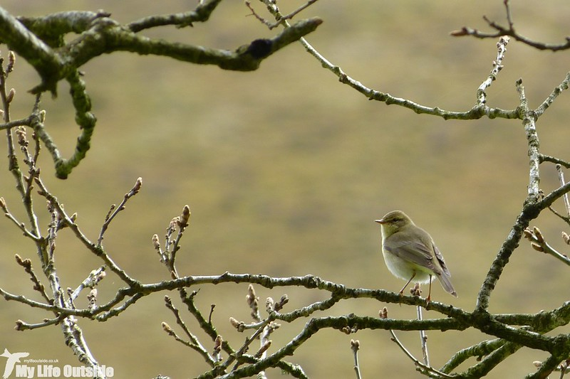 P1120660_2 - Willow Warbler, Gwenffrwd-Dinas
