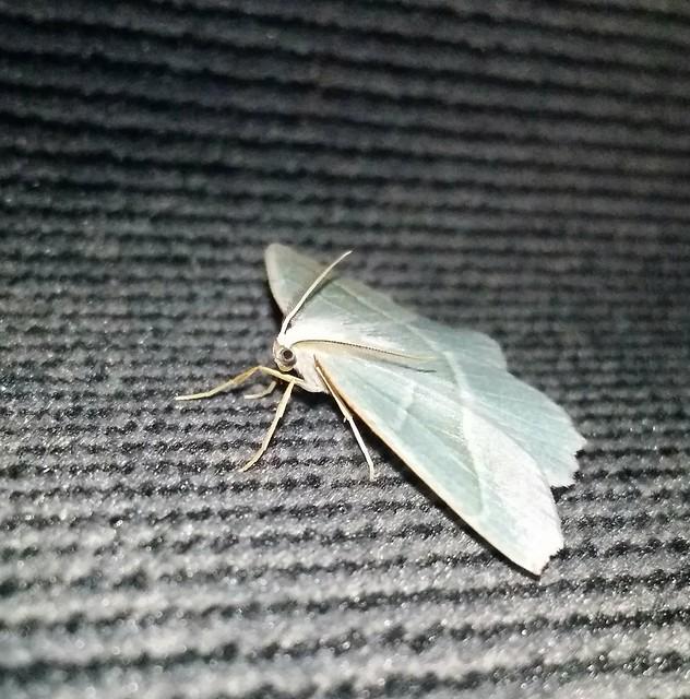 Aqua winged moth