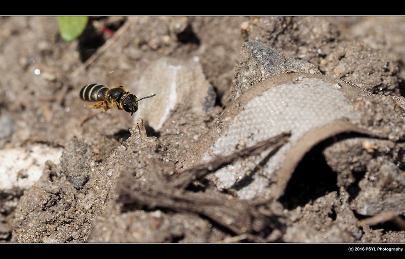 Halictus bee in flight