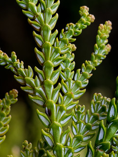 Hiba Arborvitae (Thujopsis dolobrata)