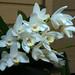 Dendrobium falcorostrum [1-3] species orchid 2-15