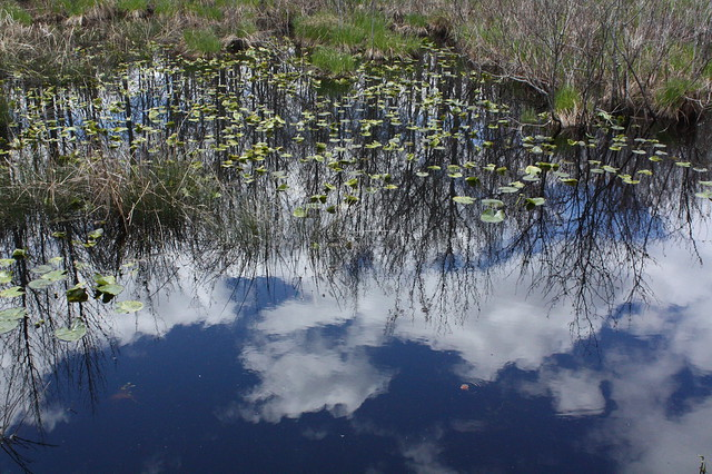 Reflected sky and lily pads