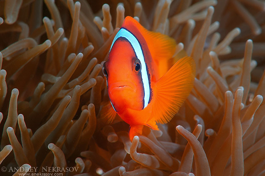 Red Anemonefish or Australian clownfish (Amphiprion rubrocinctus)