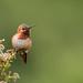 Allen's Hummingbird by toryjk