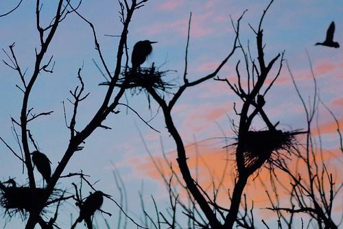 sunset usa cloud heron birds silhouette us duck illinois nikon blueheron lakecounty longgrove nests 300mmf4 d90 stevelamb heroncreek