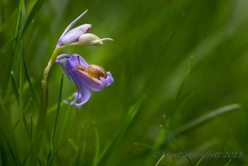 Bluebell and Snail