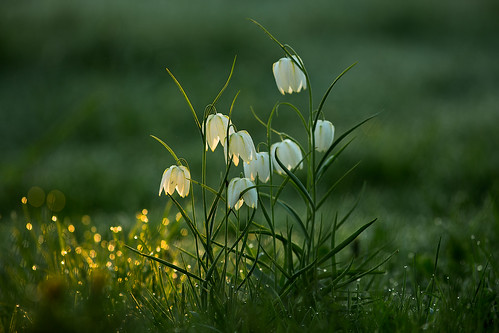 flower sunrise licht spring dew tau blume weiss inthemorning snakesheadfritillary fritillariameleagris schachbrettblume guineaflower chequeredlily guineahenflower droopingtulip leperlily frogcup chequereddaffodil chessflower lazarusbell snakesheadtheoriginalenglishname fritililary