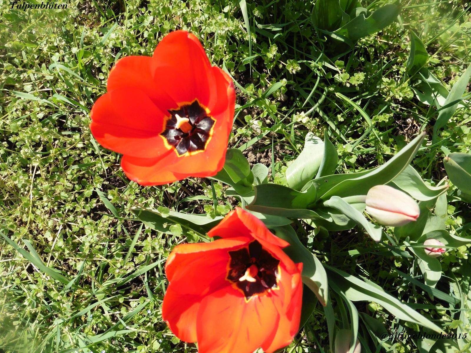 Tulpen, April 2015