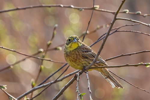 Yellowhammer at the spring tree