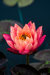 Water Lily and Honey Bee