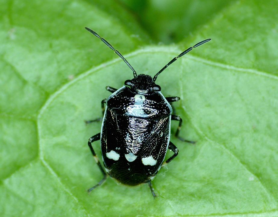 Brassica Shieldbug