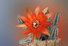Red Cactus Blossom