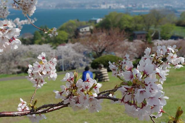 20160508手宮公園の桜_04