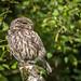 Early morning Little Owl by davepsemmens