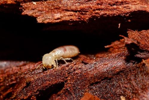 White Ant 2