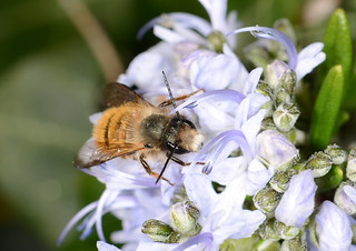 Bee with hairy face (and a passenger on its back)