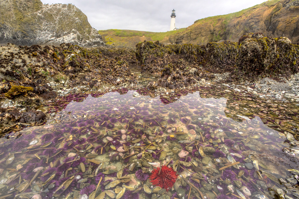 Yaquina Head Lighthouse, Outstanding Natural Area -- red urchin