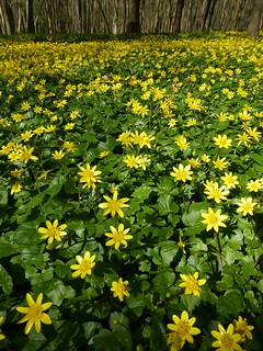 Celandine wood near Chenies