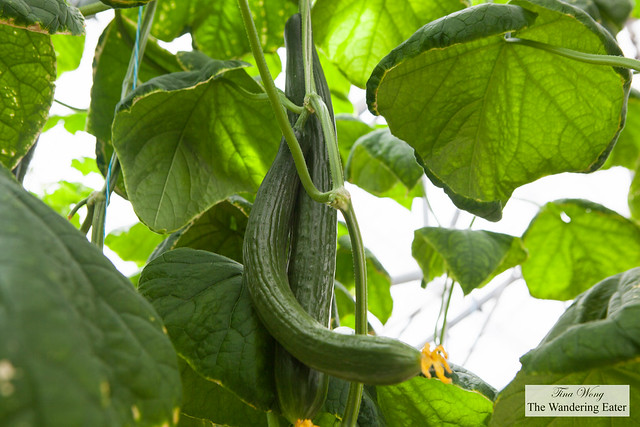 English cucumbers growing on the vine