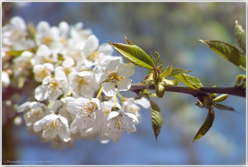 Kirschblütenzeit/Cherry blossom