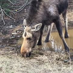 Yay! First moose sighting in many years! #Maine #moose