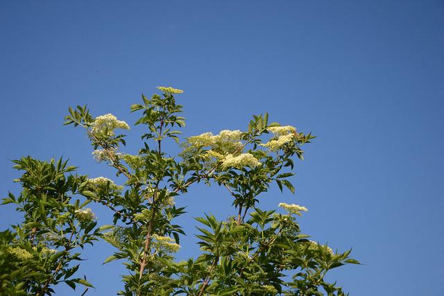 Sambucus nigra et cultivars - sureau noir - Page 2 17133511168_f631aa8f80_z