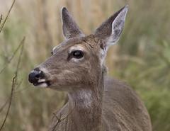 deer -  Newport News  Va.