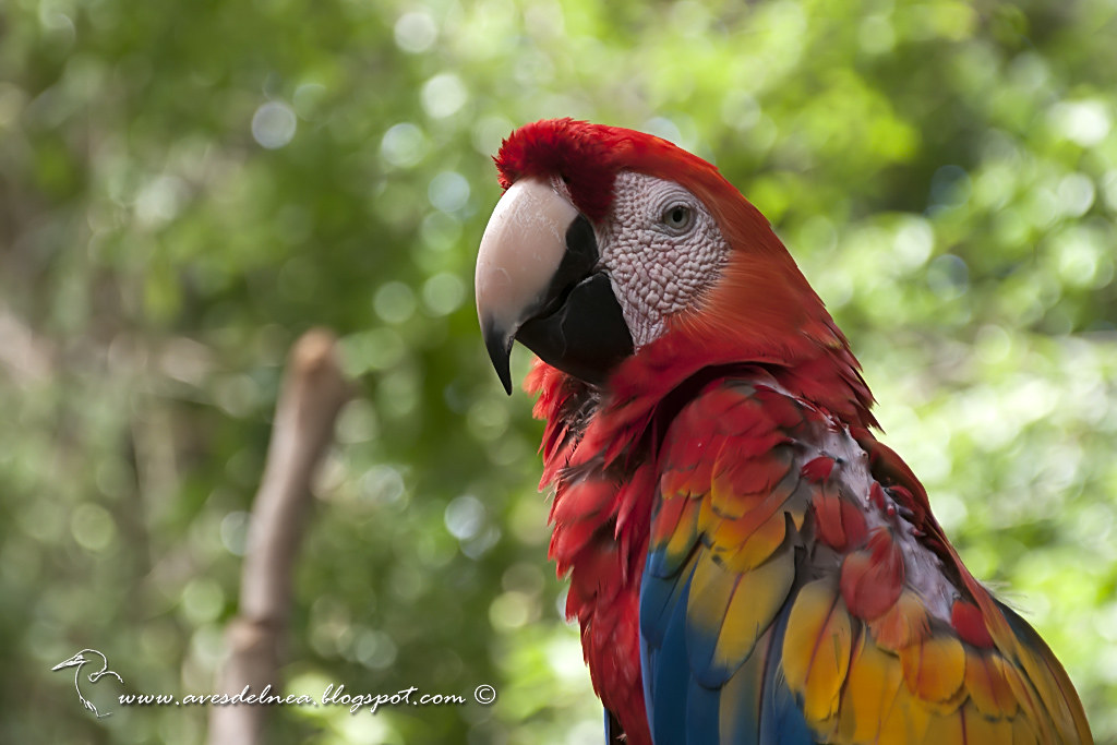 Guacamayo rojiamarillo (Scarlet Macaw) Ara macao