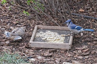 Birdwatching - Mourning Dove and Blue Jay